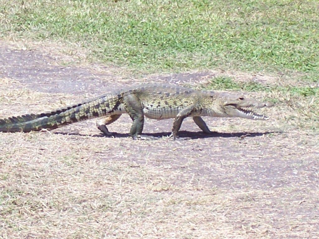 Tikal Ruins, Guatemala, Central America, crocodile