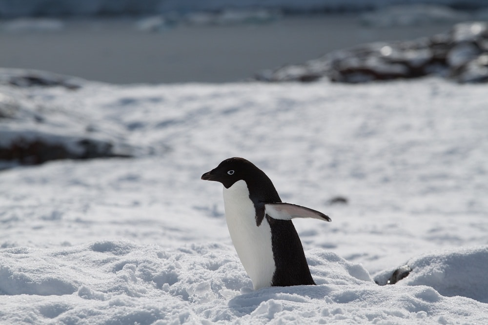"""""""Adelie Walk"""" - It always amused me how the penguins needed to walk with their arms out for balance, it definitely adds to the cutness factor.  I think I'm going to start doing the same!"""
