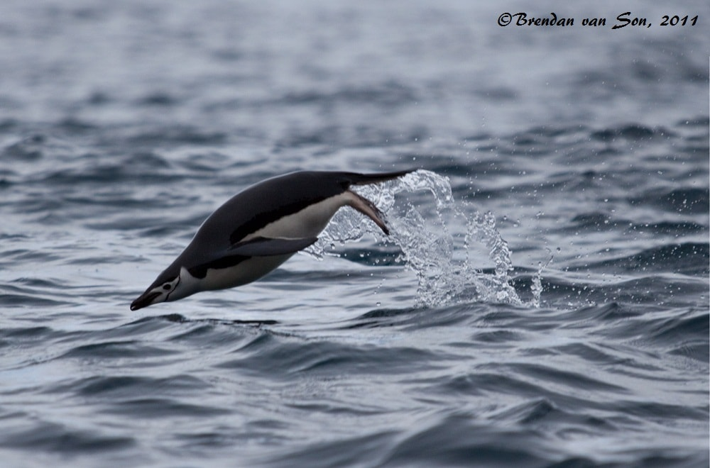 """""""Penguin Dive"""" - More proof of the penguin's dolphin like quality.  Actually when we got to deception island there were hundreds swimming, and I took about 300 shots, only this one and another captured the moment just right... so hard to shoot from a moving zodiac."""