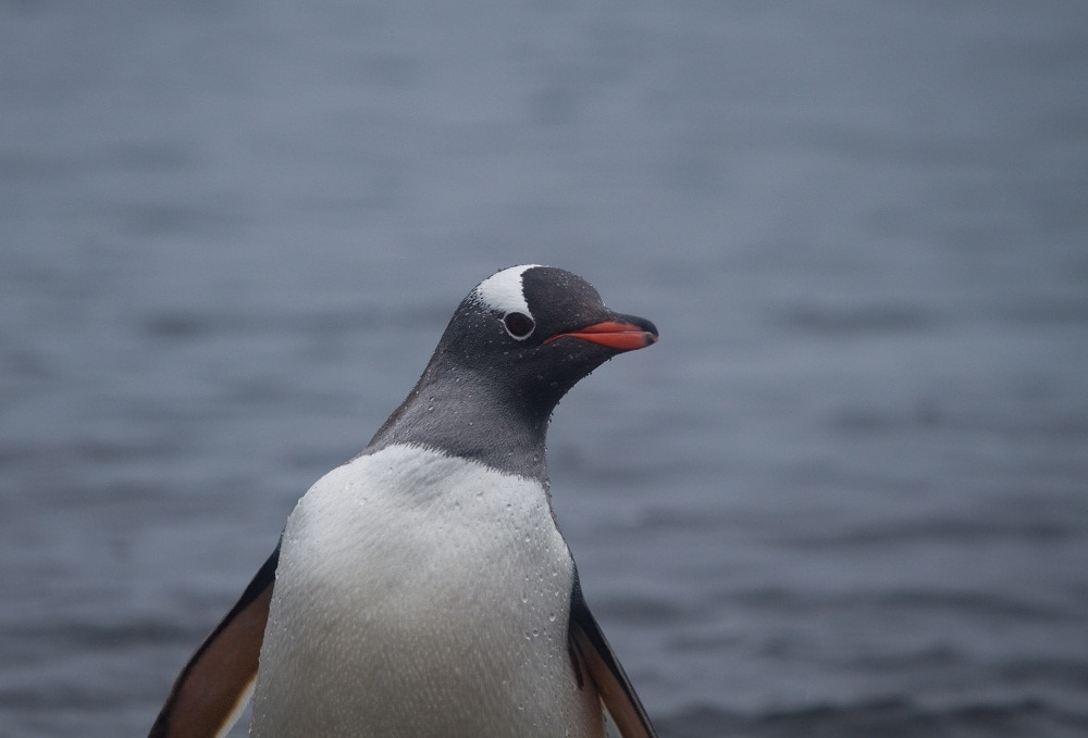 """""""Hey Girlfriend"""" - When the penguins are not being wise they're being animated.  They are very curious and constantly give looks of confusion."""