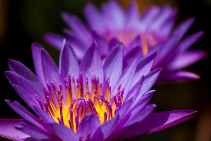 Lilypad flower, lilypad, flower, belem, brazil