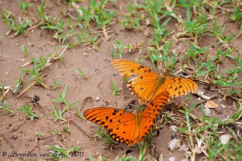 Butterflies, Pantanal, Brazil
