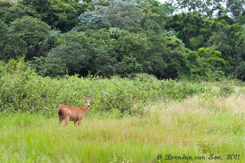 Deer, Pantanal, Brazil
