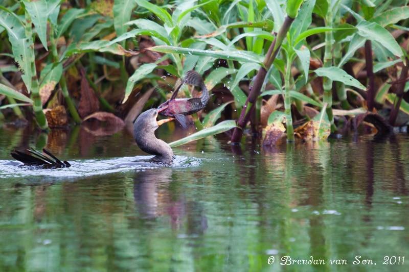 Bird with fish, pantanal, brazil
