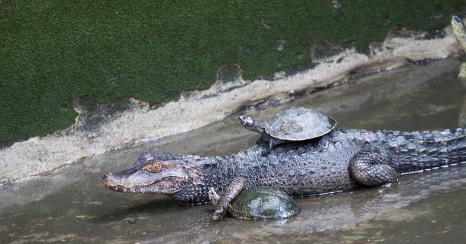 turtle, cayman, crocodile, animal