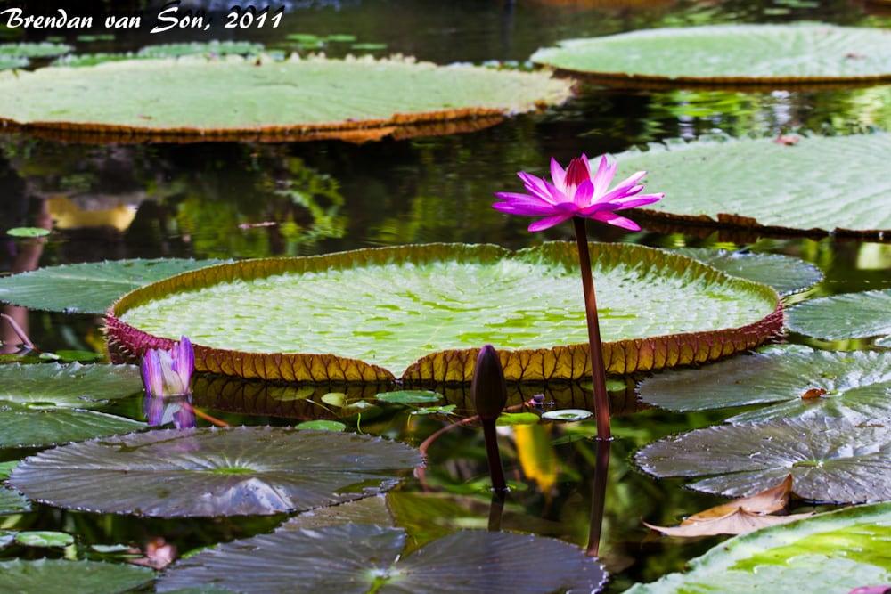 Lily pad Reflexion