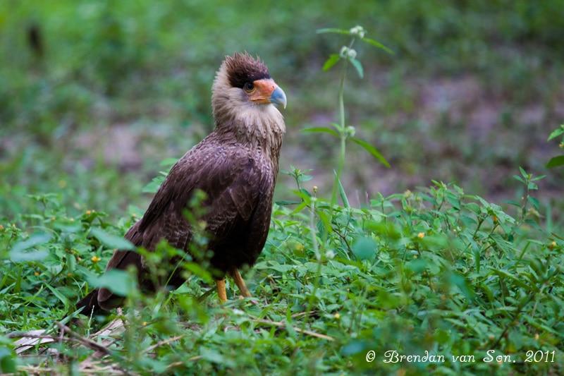 Hawk, Pantanal, Brazil
