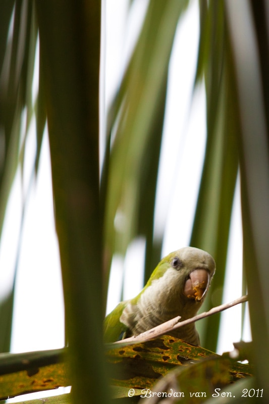 Parrot, Pantanal, Brazil