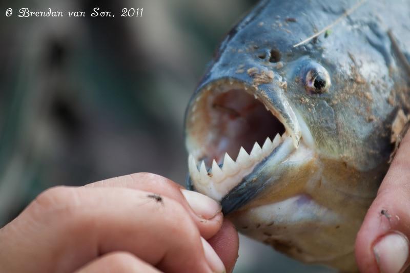 piranha, fishing, pantanal, brazil, teeth