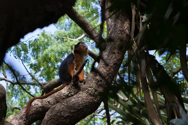 A Red Colobus monkey in Bijilo Forest Park