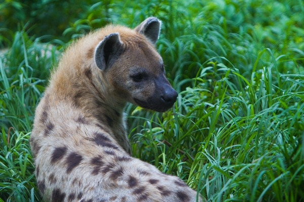 A rescued hyena in Abuko Nature Reserve