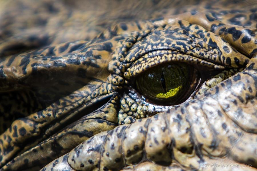 Crocodile, nile, guinea