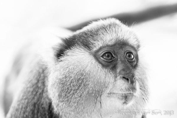 mona monkey, Boabeng-Fiema