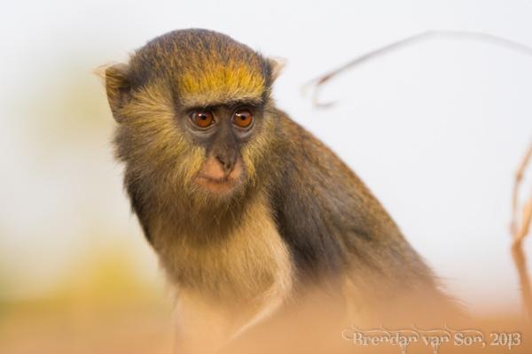 Boabeng-Fiema, mona monkey