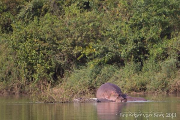 wechiau, hippos