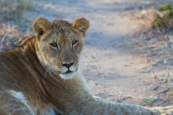 Livingstone Lion Encounter