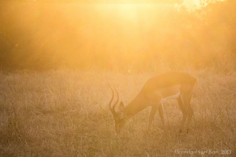 impala, Chobe National Park