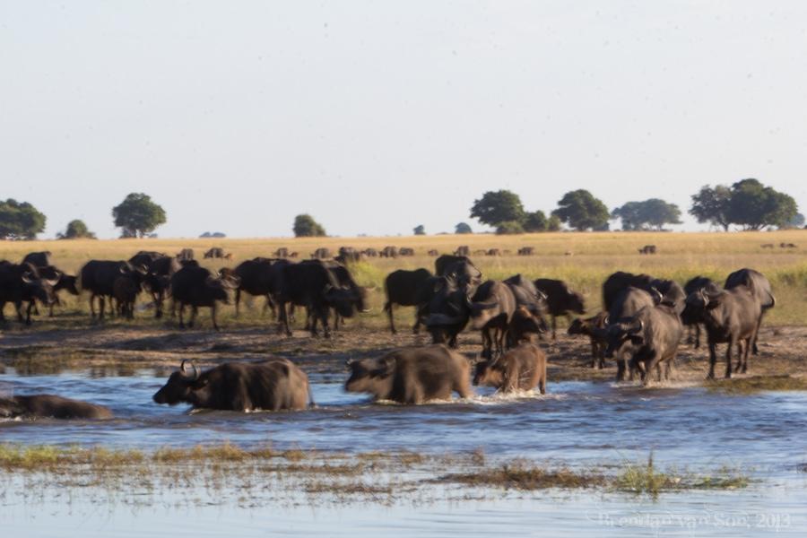 water buffalo, Chobe National Park