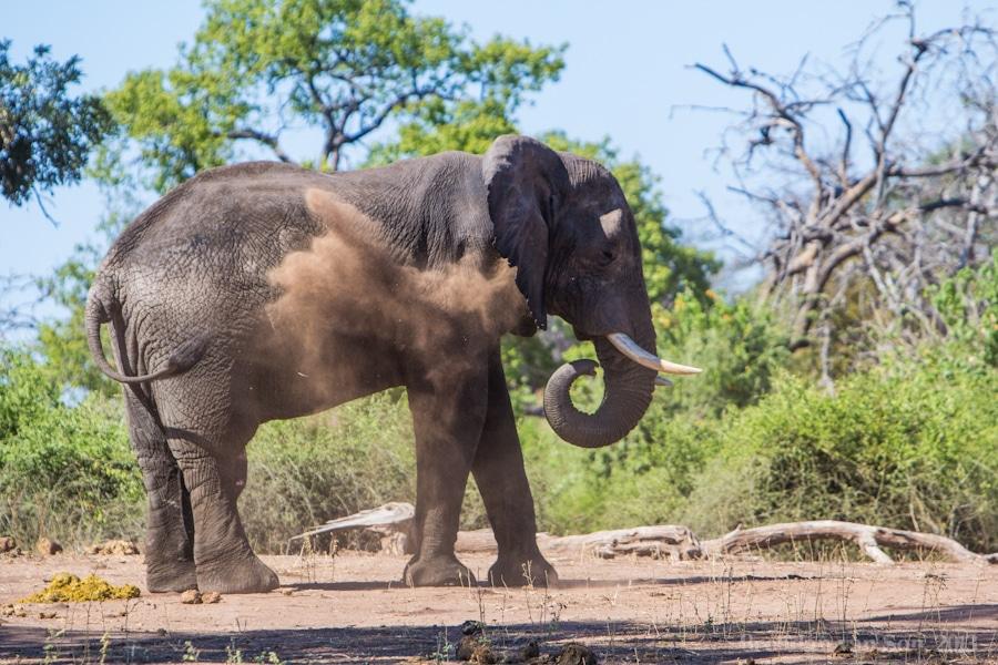 elephant, mud bath, Chobe National Park