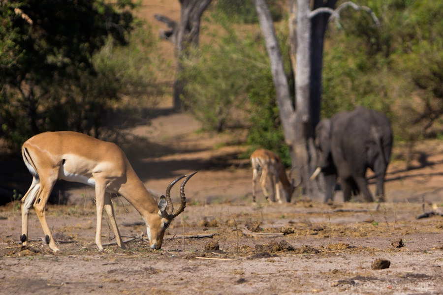 There is so much wildlife in Chobe National Park that after a while you aren't satisfied with photos of just one animal.  These are a couple impala hanging out with an elephant