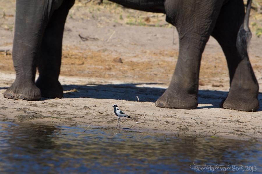 bird and elephant, Chobe National Park