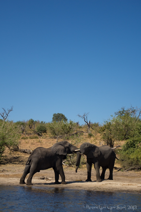 A couple warring male elephants