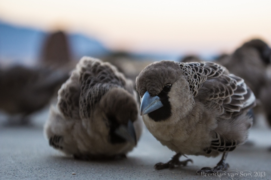 Sparrows, Namibia