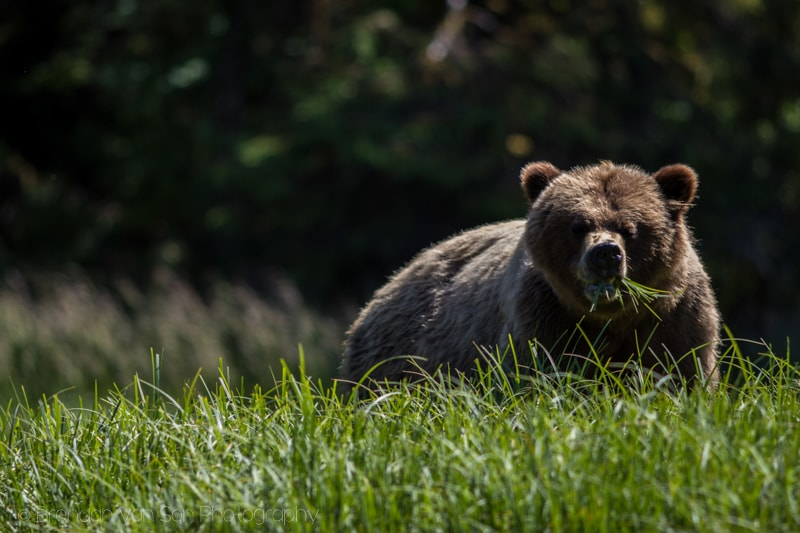 grizzly bear management in british columbia essay