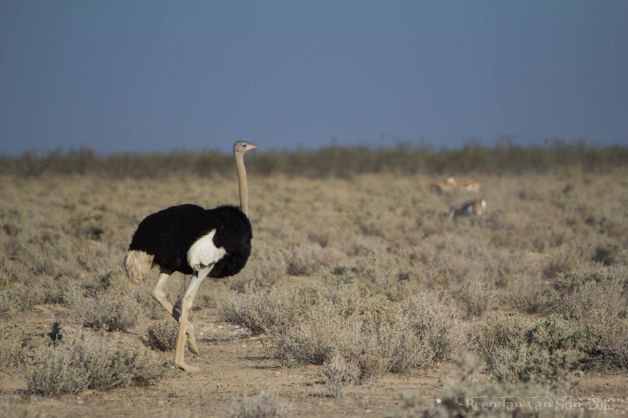 Etosha National Park, ostrich