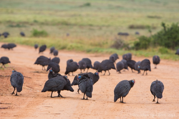 Addo National Elephant Park, Guinea Fowl