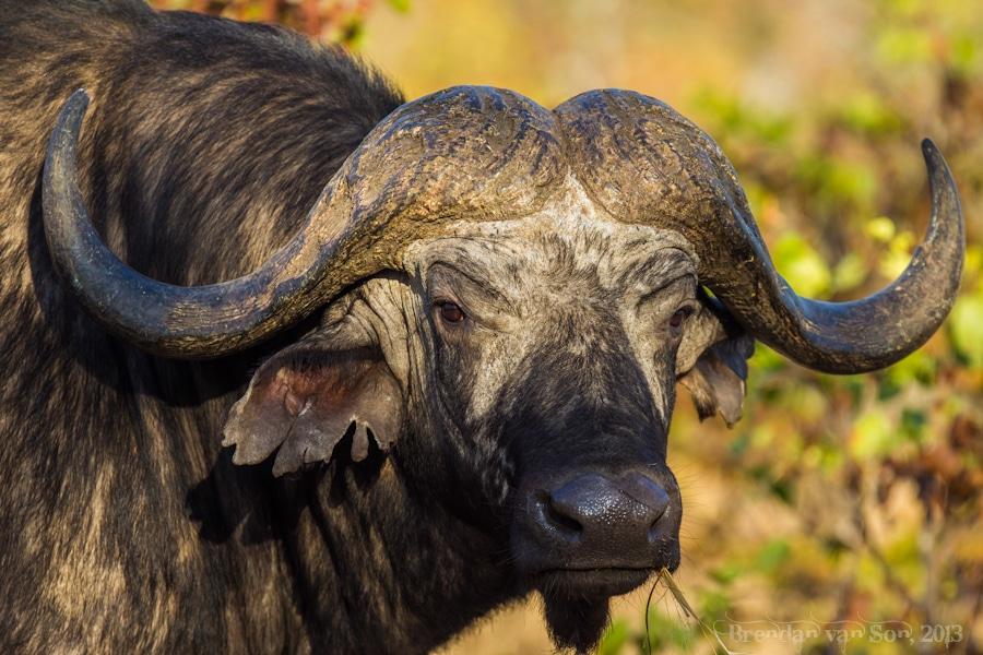 Kruger National Park, Buffalo
