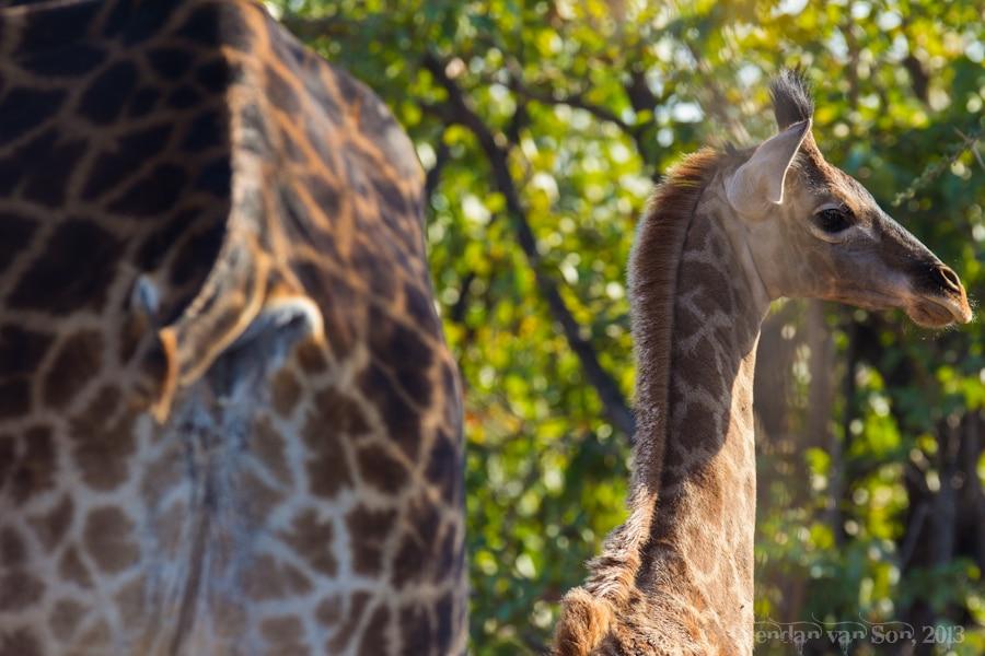 Kruger National Park, Giraffe