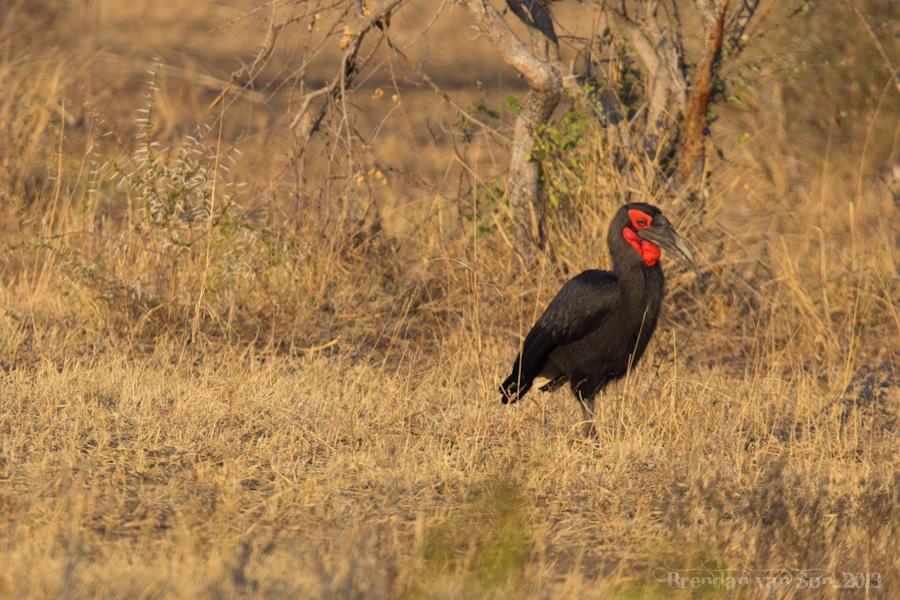 Kruger National Park, Ground Hornbill