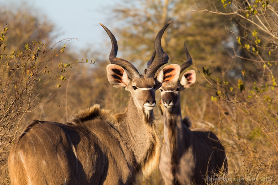 Kruger National Park, Kudu