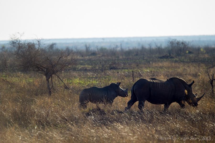 Kruger National Park, Rhino