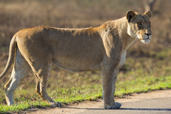 Kruger National Park, lion