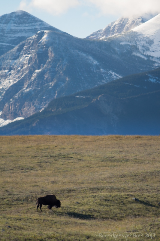 buffalo, Waterton National Park