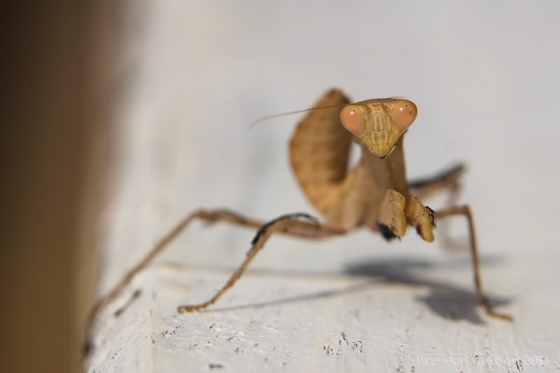 "January 16, 2013 - ""Preying Mantis"" I saw this Preying mantis in Mole National Park, Ghana"