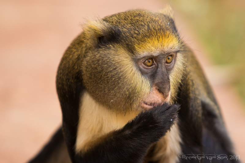 Ghana Pictures, monkey
