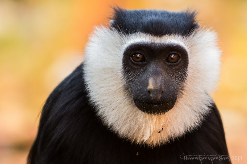 Ghana Pictures, Black and White Colobus