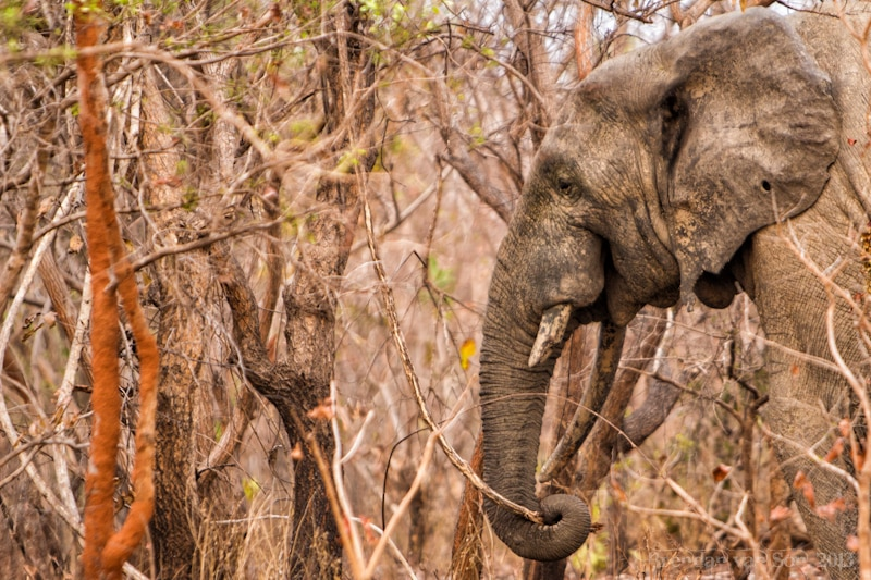 Ghana Pictures, Elephant