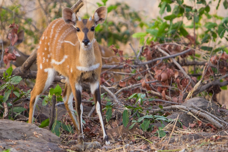 Ghana Pictures, Antelope