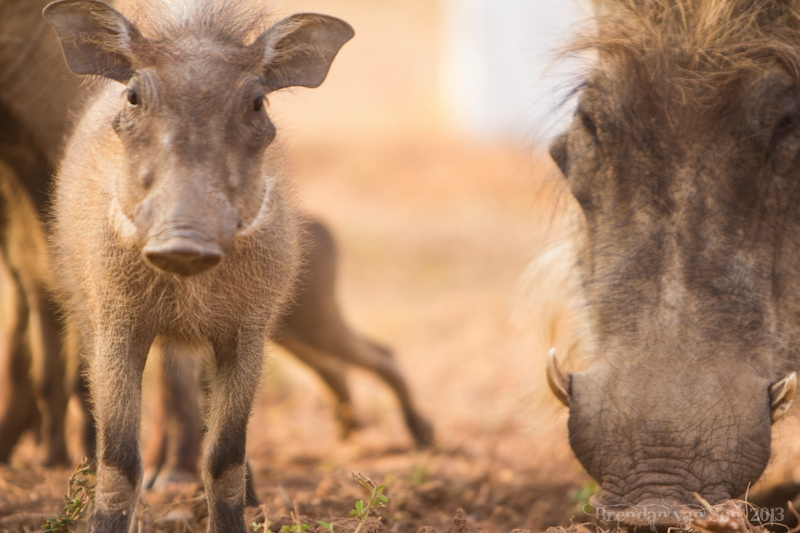 Ghana Pictures, baby warthog