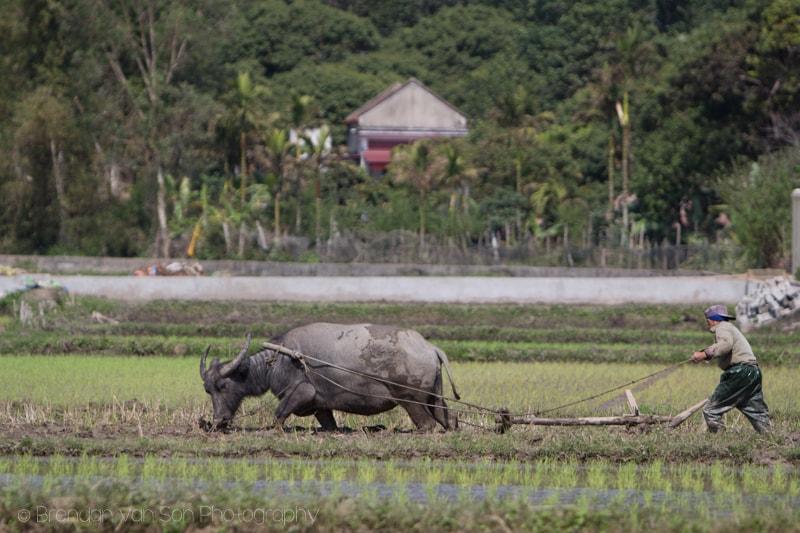 Catba, Vietnam, buffalo