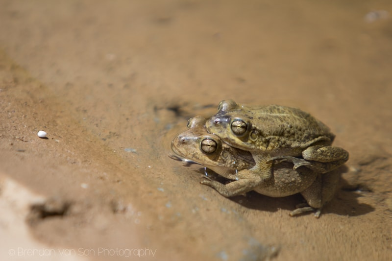 humping frogs, Diana's Point Oman