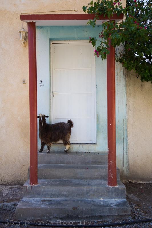 Goat, Oman