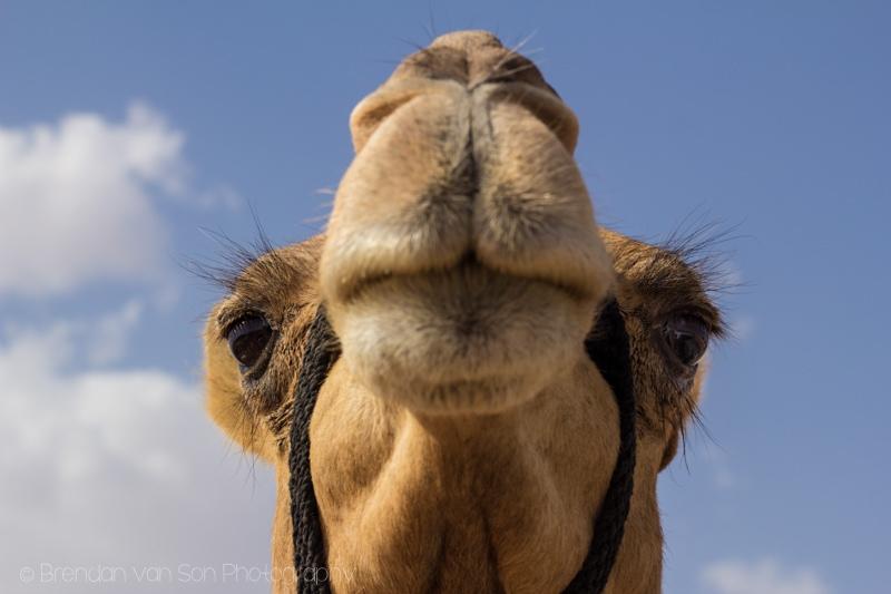Camel Wahiba Sands Oman