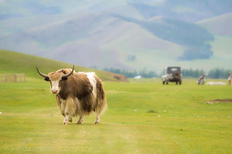 Yak Mongolia