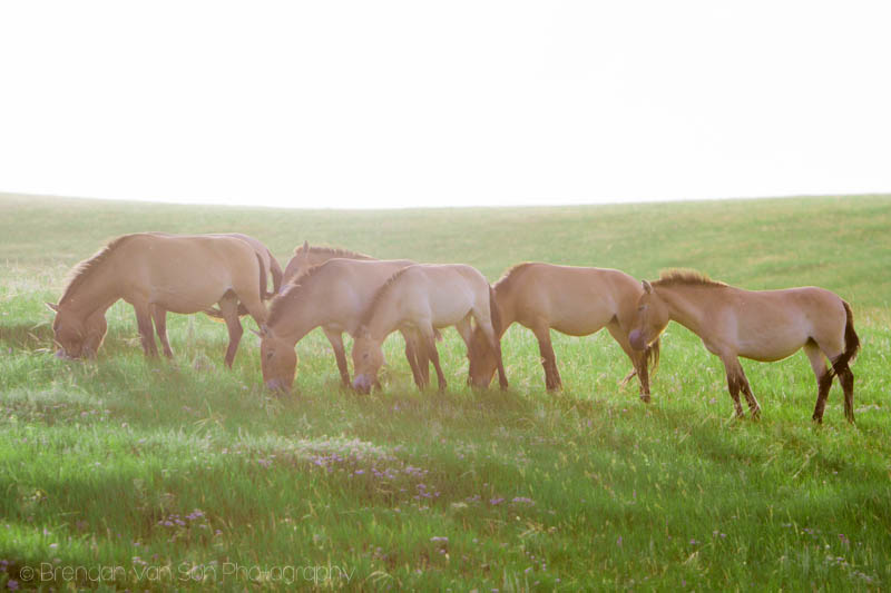 Wild horses in Hustai National Park