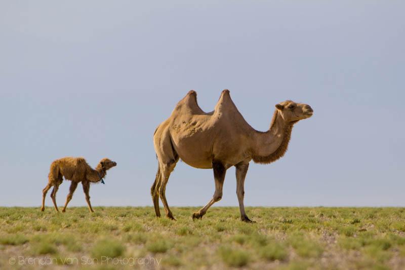 Gobi Camel